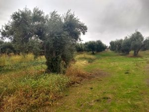 Untended olive grove near Corning, CA