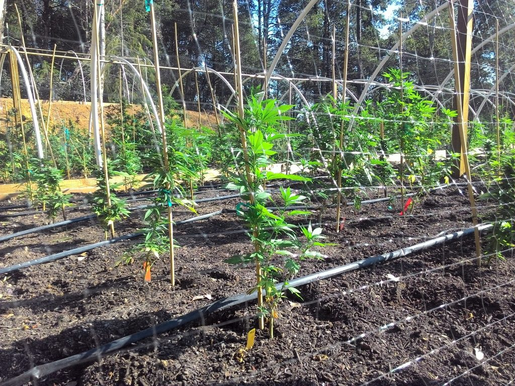 Cannabis clones in hooped beds in clear-cut, Humboldt County