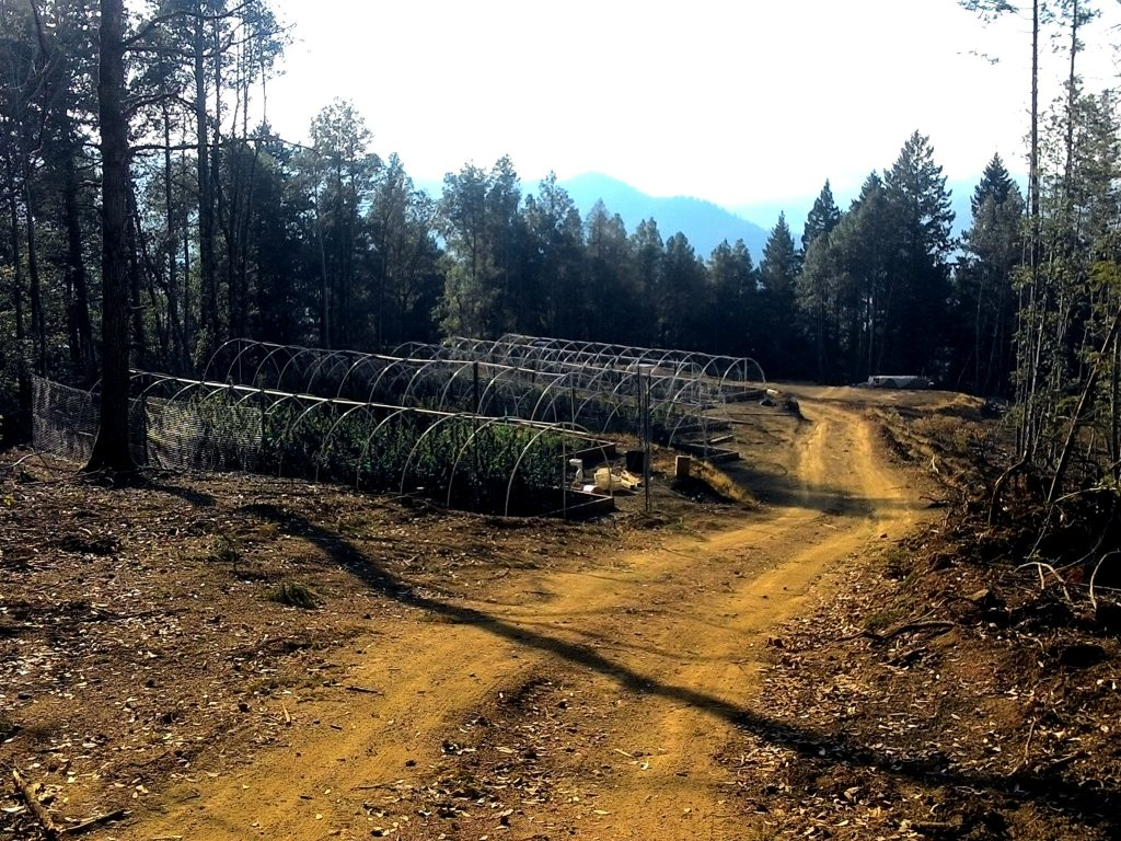 Three-acre clear-cut with marijuana beds, Humboldt County