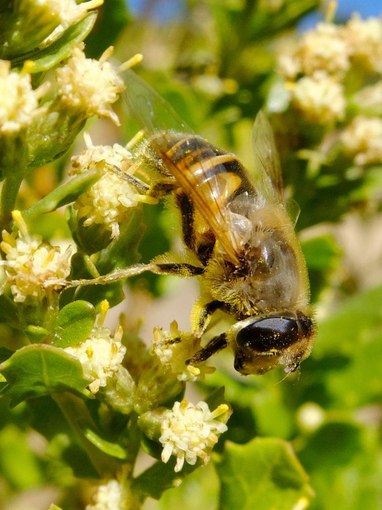 Bee on Coyote Bush (Baccharis pilularis)