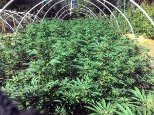 Outdoor grow in Humboldt County