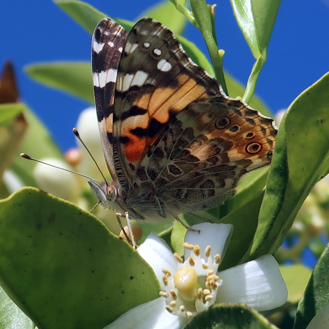 Painted Lady (Vanessa cardui) on an Orange blossom, southern California