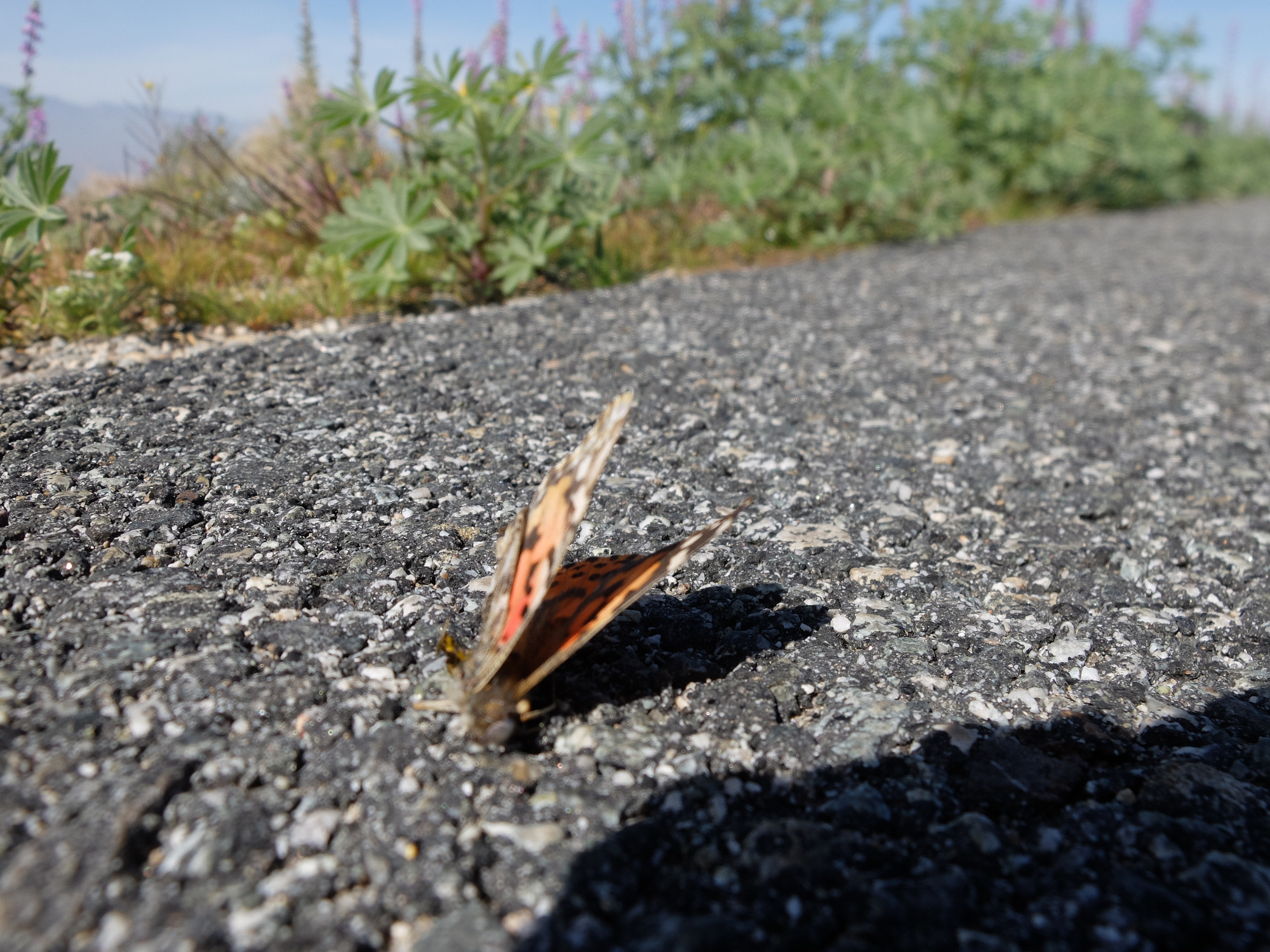 Dead Painted Lady, on shoulder of Hwy 111 by the Salton Sea