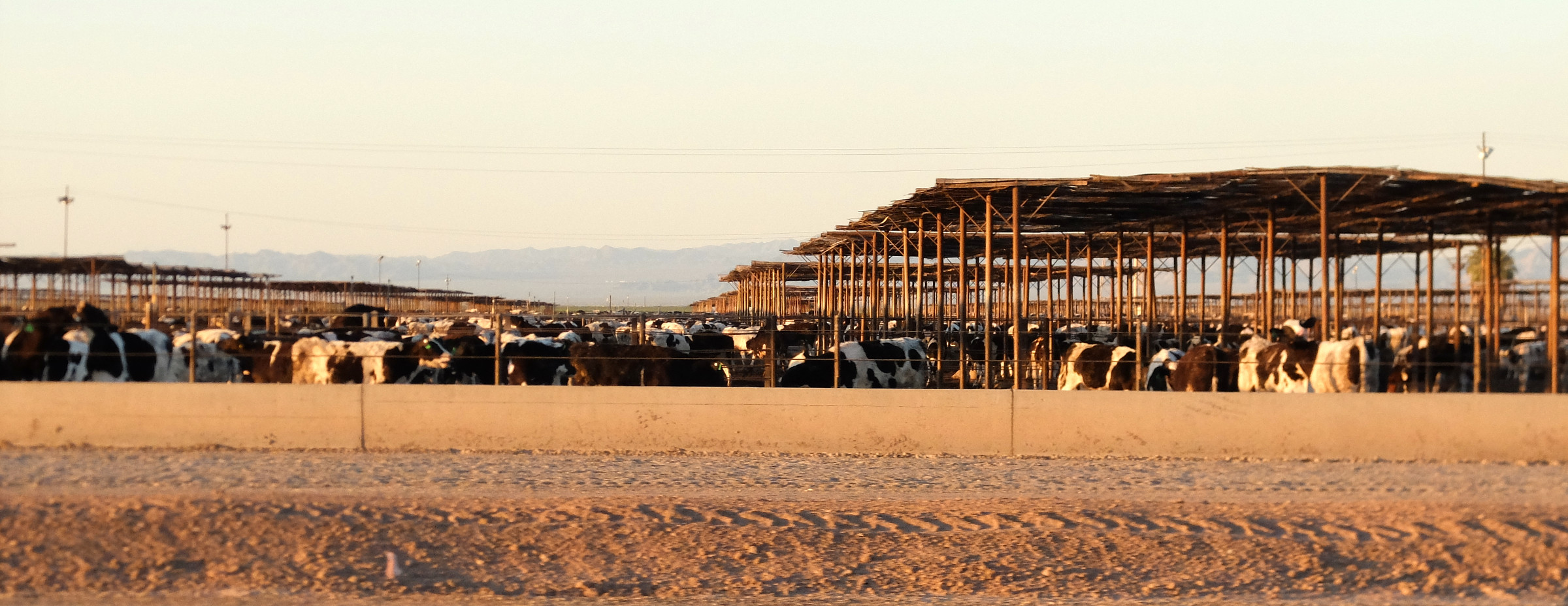 Concentrated animal feeding operation in the desert in Imperial County in southern California