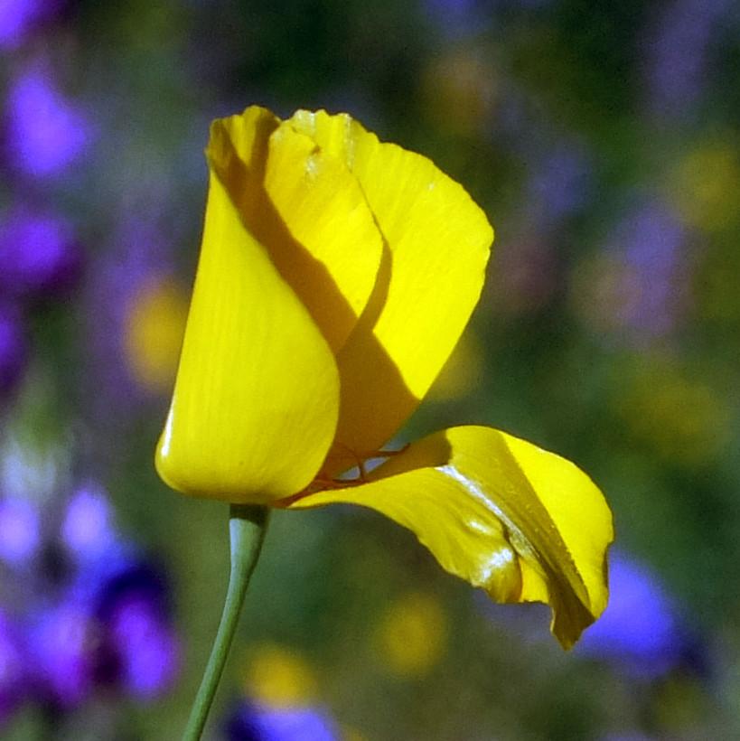 California Poppy in Anza-Borrego State Park, March 2019