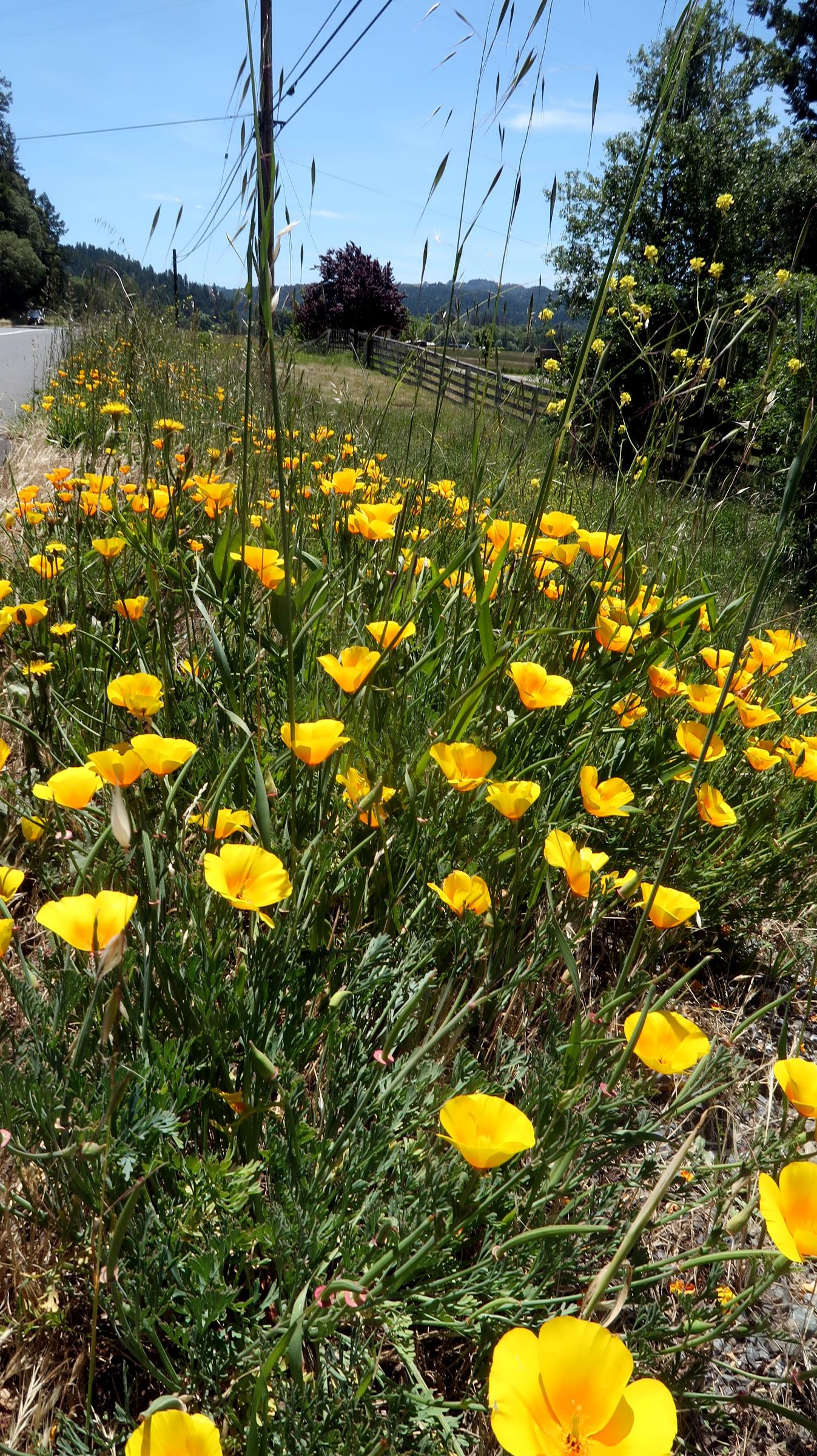 Cal Poppies along Hwy 101, May  2019