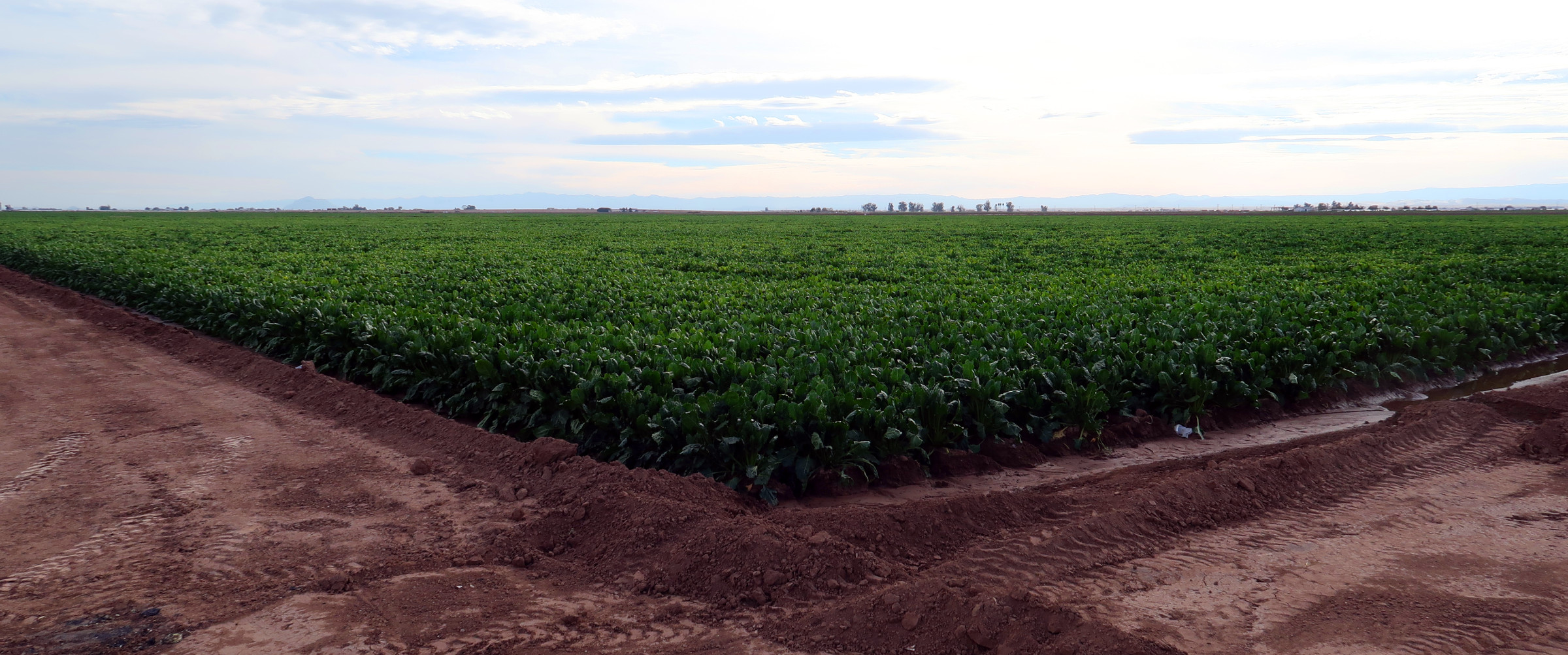 """Sugar Beet field in southern California in the desert near the Salton Sea. More than 90% of the Sugar Beets grown in the USA are GMO, genetically modified to be """"Round-up Ready."""""""