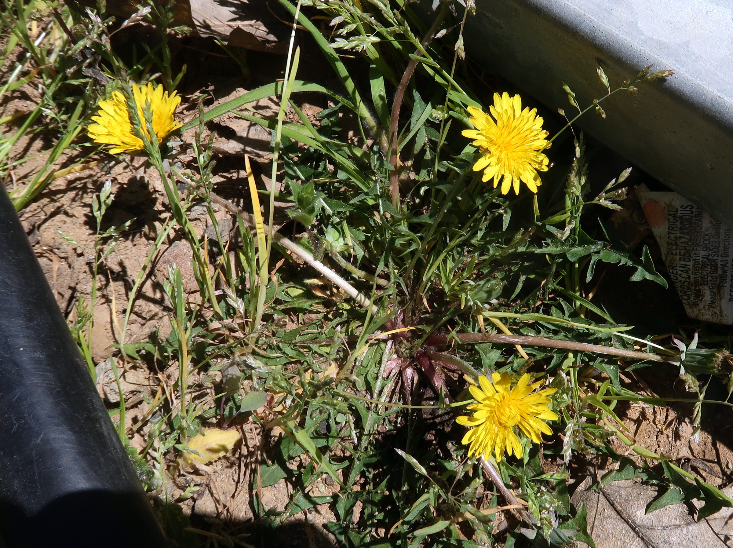 Dandelion (Taraxacum officinale), growing between an irrigation pipe and a hoophouse frame
