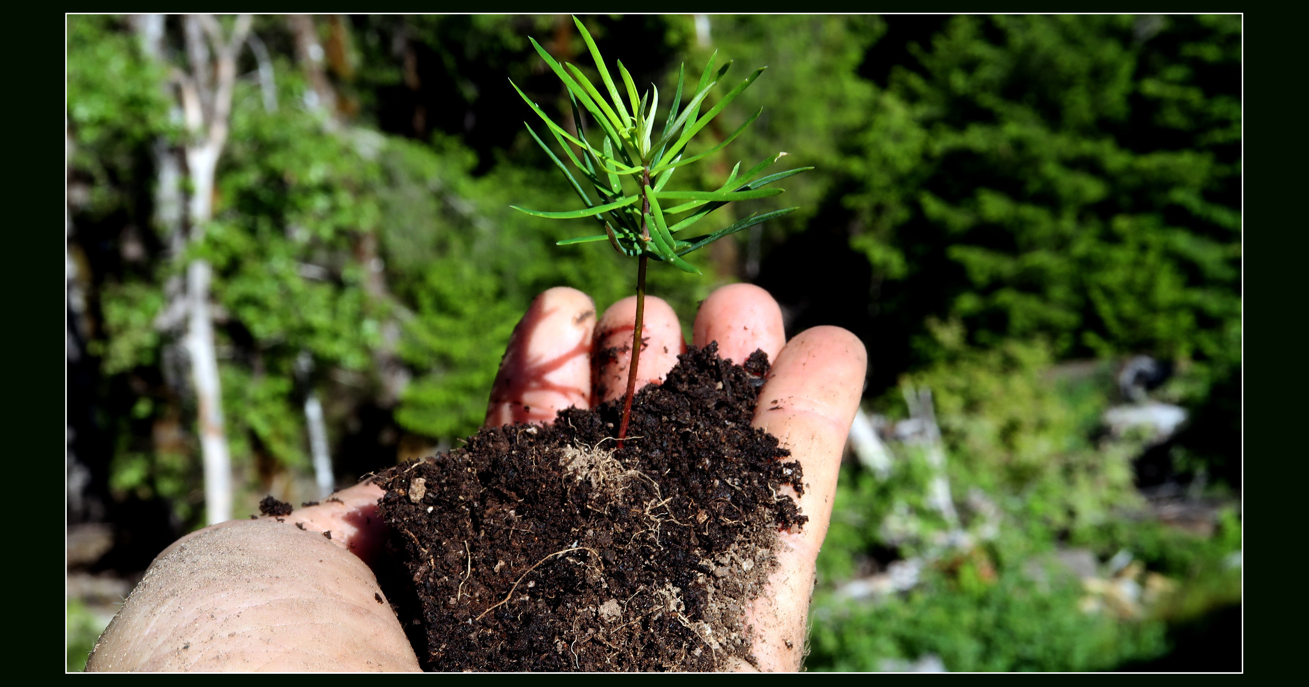 Fir seedling, in author's hand [photo by author]