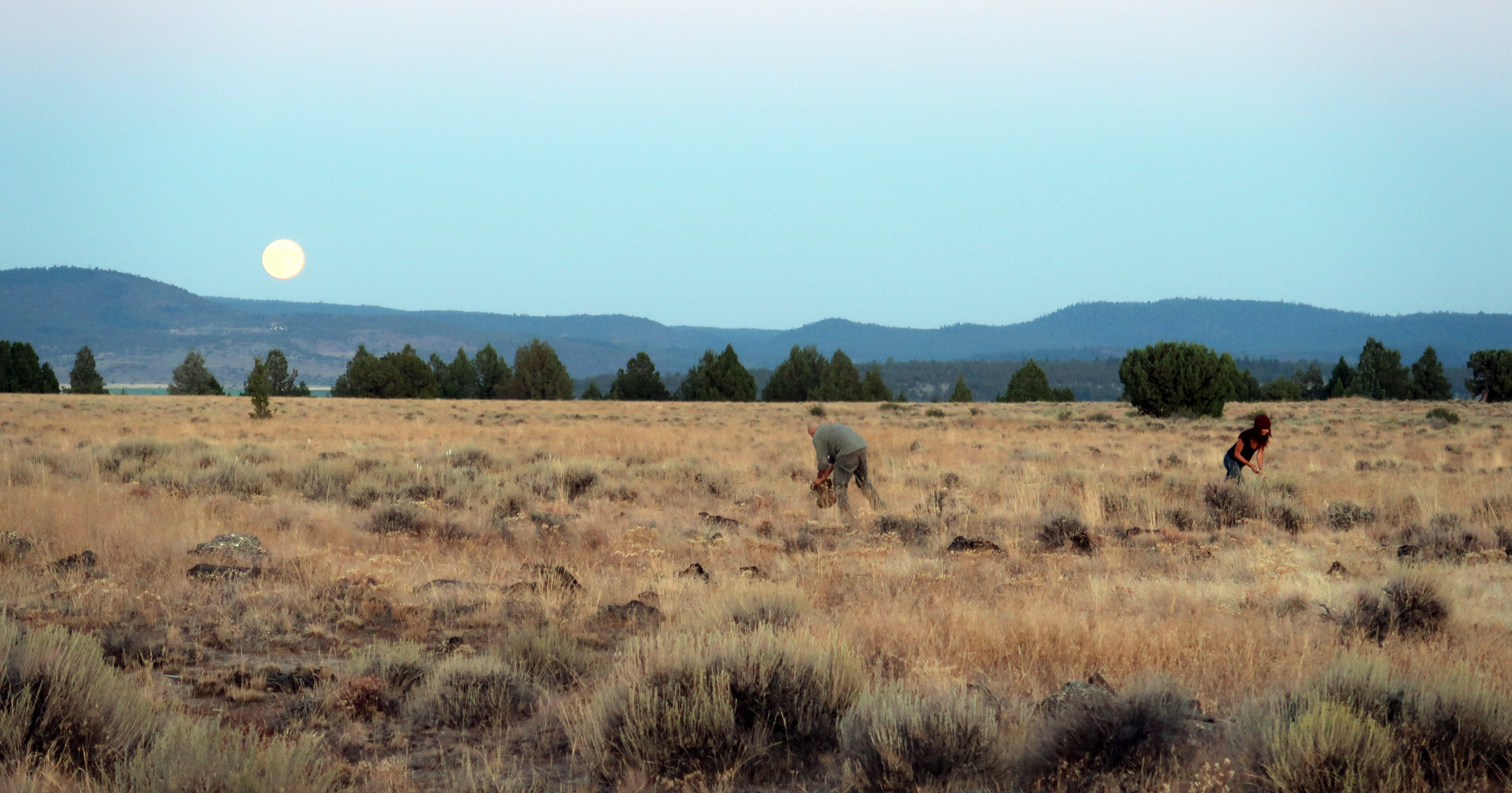 Wildtenders harvesting Yampah seed as the moon rises in eastern Oregon, August 2019 (Photo by author)