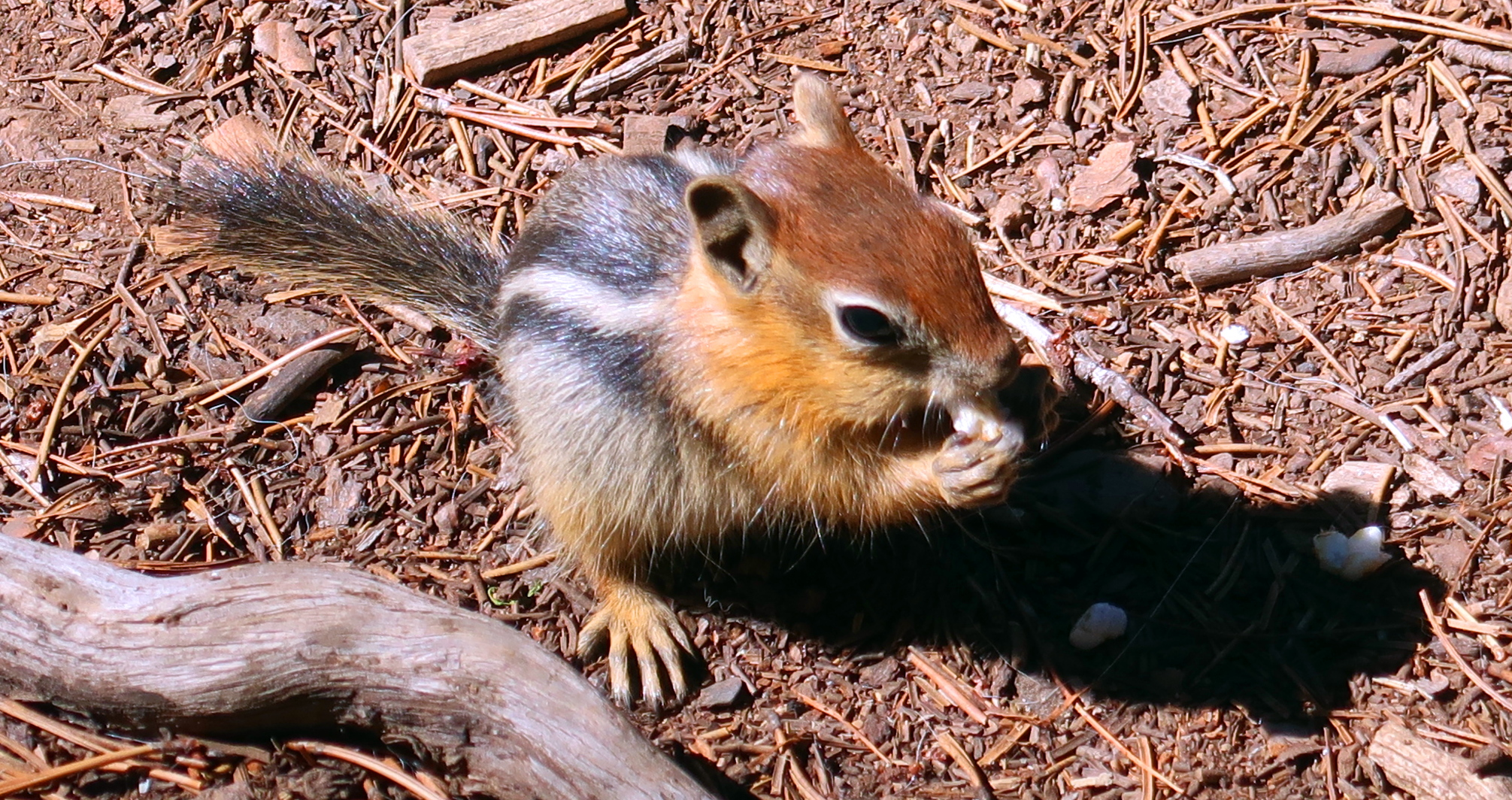 Chipmunk in Fremont-Winema National Forest