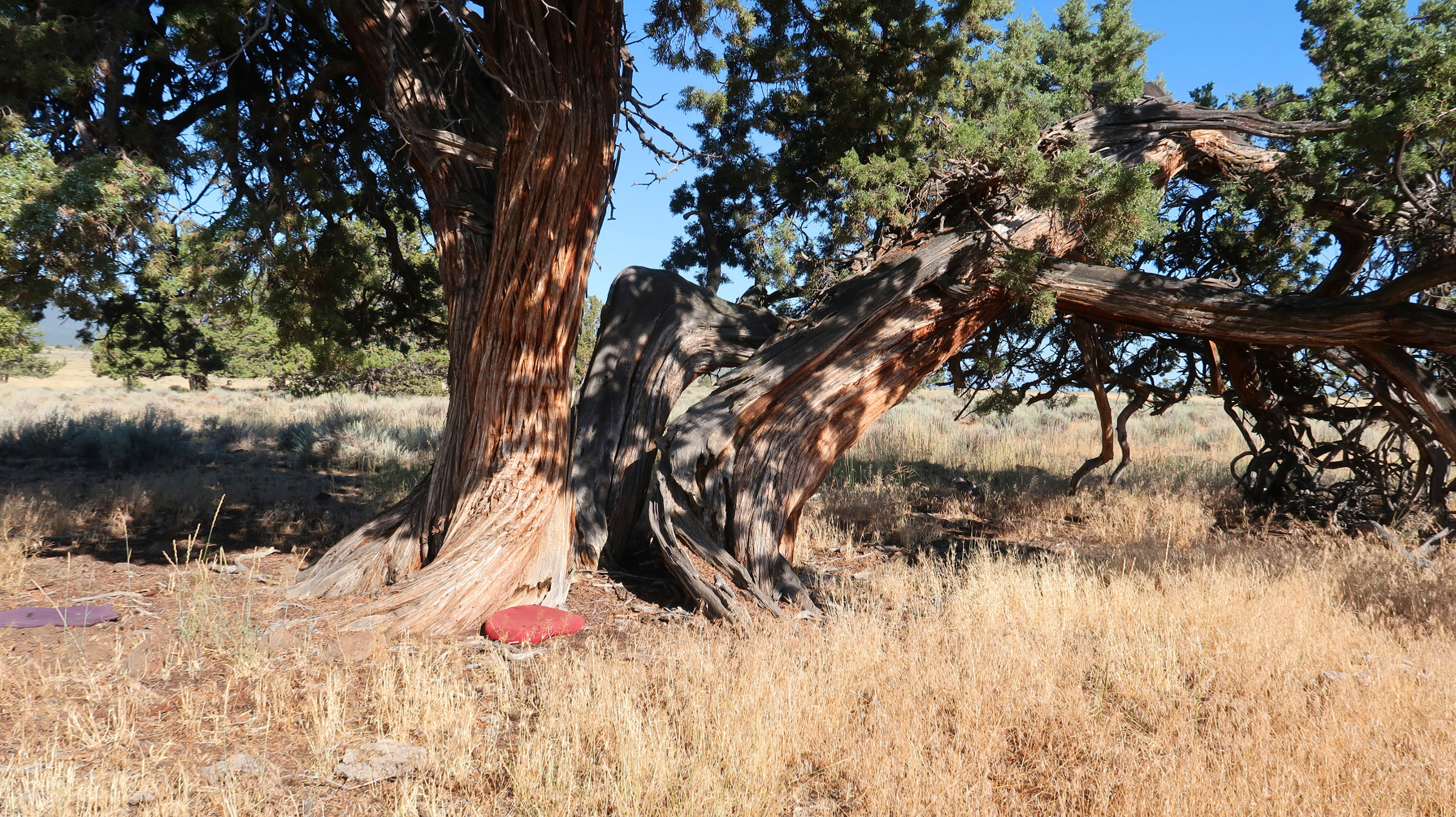 Juniper tree in Klamath County, CA