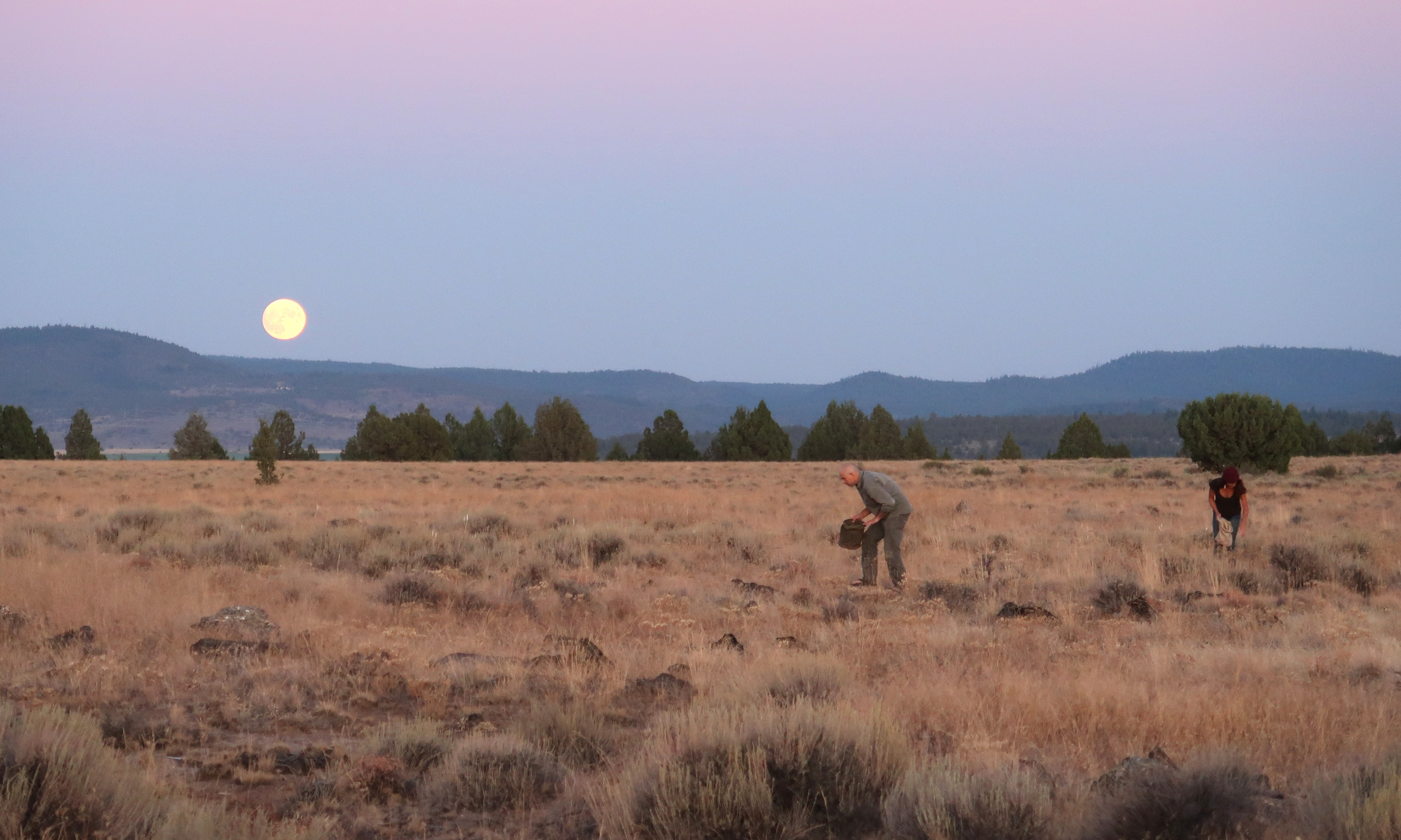 Wildtenders collecting Yampah seed by the light of the full moon, Sept. 2019 (Photo by the author)